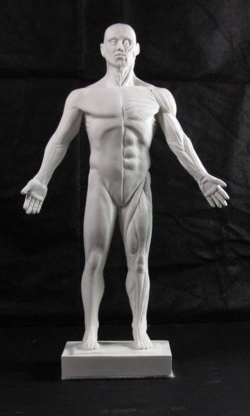 Anatomy Reference Écorché Figure